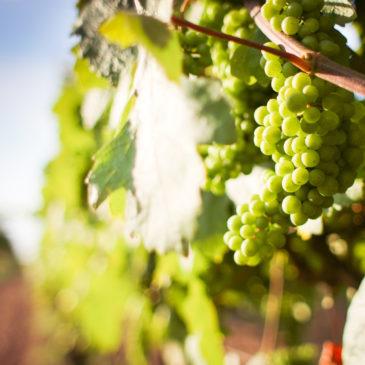 Tekovské vinobranie